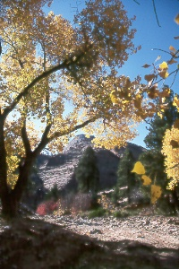 cottonwoods and slickrock along the Zion-Mt. Carmel Hwy.